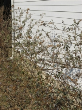 butterfly-bushes-pretrim