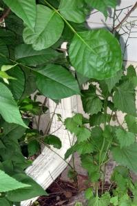 Poison Ivy_0001